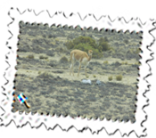 A vicuna between Arequipa and Puno